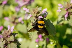 Bee on the Heal-all flower. Bee sitting on the Heal-all flower gather pollen. Heal-all is a common name for the plant Prunella vulgaris royalty free stock image