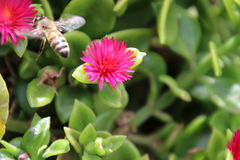 Bee on Heartleaf Ice Plant Stock Photography