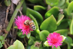 Bee on Heartleaf Ice Plant Royalty Free Stock Images