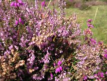 Bee in heather. Bee in beautiful violet heather Stock Image