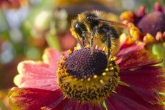 Bee on Helenium Stock Photo