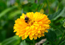Bumblebee on heliopsis Royalty Free Stock Images