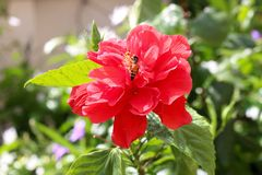 Bee on hibiscus red flower Royalty Free Stock Photo
