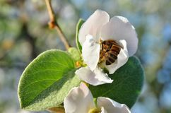The bee is hid in the flower apple. The tree branch stock photo