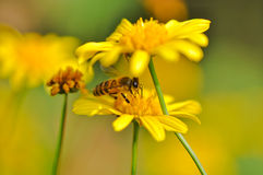 A bee hide in marigold Stock Photo
