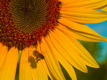 Bee and his Shadow 1. A honeybee doing a fly by casts it's shadow on a sunflower Royalty Free Stock Image