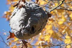 Bee Hive. Or wasp's nest found in the local woods royalty free stock images