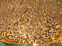 Bee Hive. Hundreds of bees busy working at their hive building honey royalty free stock photos