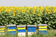 Bee hive. And sunflowers field Stock Photos