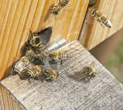 Bee hive. With bees - close up Royalty Free Stock Images