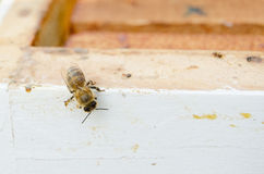 Bee on hive. Api on bee hive, clouse up Stock Photo