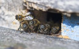Bee hive. Entrance with guards royalty free stock image