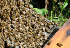 Bee hive with bees Stock Image
