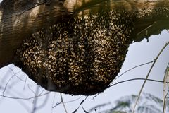 A bee hive in a forest. A bee hive full of bees on a tree in a forest. There are thousands of stinging bees royalty free stock images