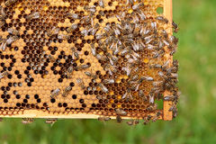 Bee Hive. Honey bee frames covered with bees Royalty Free Stock Images