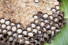 Bee hive for sale. In the morning market in Luangprabang Royalty Free Stock Photo