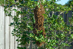 Bee hive on tree Royalty Free Stock Photography