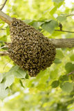 Bee hive swarming on tree. Blurred background Stock Image