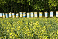 Bee hives. Among a blooming field royalty free stock image