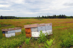 Bee Hives in Blueberry field Royalty Free Stock Photography