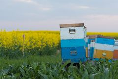 Bee hives in a field.Bees in a beehive royalty free stock images