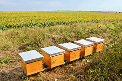 Bee Hives. By huge sunflower field Royalty Free Stock Photo