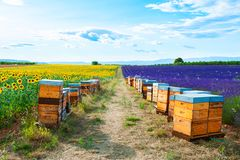 Bee hives in a lavender and sunflower fields