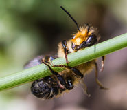 Bee holding on to grass Royalty Free Stock Images