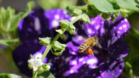 Bee, Honey Bee, Flora, Membrane Winged Insect royalty free stock photos