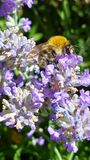 Bee, Honey Bee, Flower, Nectar stock image