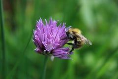 Bee, Honey Bee, Flower, Purple