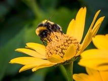 Bee, Honey Bee, Flower, Yellow Royalty Free Stock Photo