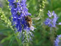 Bee, Honey Bee, Hyssopus, Membrane Winged Insect Stock Photo