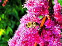 Bee, Honey Bee, Insect, Nature Royalty Free Stock Image