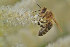 Bee, Honey Bee, Insect, Nature Stock Photography