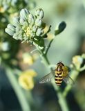 Bee, Honey Bee, Insect, Nectar stock image