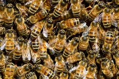Bee, Honey Bee, Invertebrate, Membrane Winged Insect Stock Image