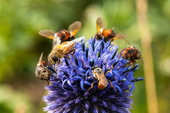 Bee. Honey bees flying in a blue flower Stock Photo