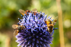 Bee. Honey bees flying in a blue flower Royalty Free Stock Image