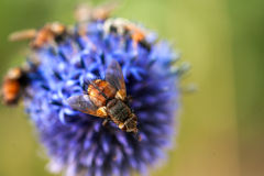 Bee. Honey bees flying in a blue flower Stock Photos