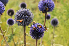 Bee. Honey bees flying in a blue flower Stock Image