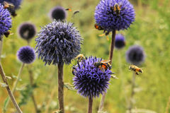 Bee. Honey bees flying in a blue flower Royalty Free Stock Photos