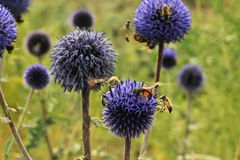 Bee. Honey bees flying in a blue flower Royalty Free Stock Photography