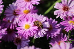 BEE. Honey bee on pink flower Royalty Free Stock Image