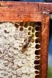 Bee and honey Stock Image