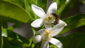 Bee. Honey Bee recogindo nectar from a orange blossoms