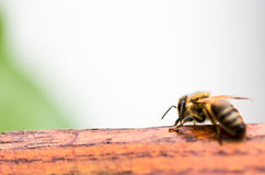 BEE. Honey Bee on wood in macro shoot in a park in Simeria from Romania Stock Photography