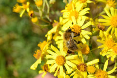 BEE. Honey bee on yellow flower collecting pollen Stock Photography