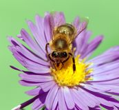 Bee or honeybee Apis Mellifera on violet flower. Detail of bee or honeybee in Latin Apis Mellifera, european or western honey bee sitting on the violet flower Stock Images
