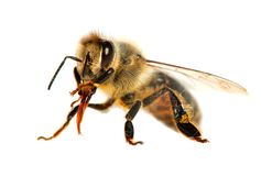 Bee or honeybee in Latin Apis Mellifera. Detail of bee or honeybee in Latin Apis Mellifera, european or western honey bee  on the white background, golden Royalty Free Stock Image
